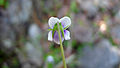 Wild Violet back of flower (15418223934).jpg