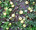 Wild apples fallen from tree.jpg