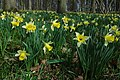 Wild daffodils in Hallwood - geograph.org.uk - 1210580.jpg