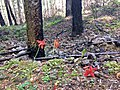 Wildflowers along Pacific Crest Trail in the Columbia River Gorge in Oregon post Eagle Creek Fire 6 14 2018 photo by Ralph Bloemers. (42442529805).jpg