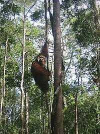 Win the Orangutang in Tanjung Puting National Park 2005.jpg