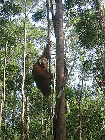 Win the Orangutang in Tanjung Puting National Park 2005.jpg