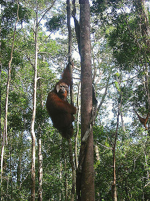 "English: Win the ""King"" Orangutang i..."