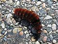 Wolly Bear Caterpillar - Flickr - GregTheBusker.jpg