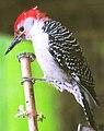 Woodpecker (8430072866).jpg