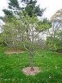 Xanthoceras sorbifolia, Arnold Arboretum - IMG 6061.JPG