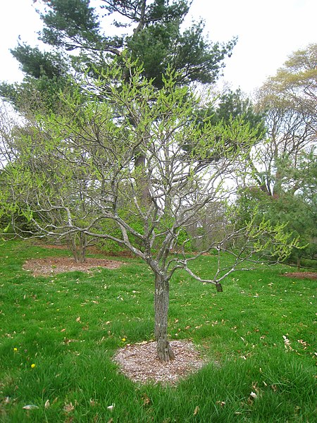 arbre le xanthoxeras