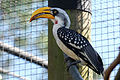 Yellow-casqued hornbill.jpg