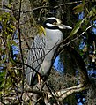 Yellow-crowned Night Heron - St Johns River.jpg