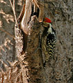 Yellow-crowned Woodpecker (Dendrocopos mahrattensis) in Kawal WS, AP W IMG 2103.jpg