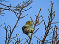 Yellow-footed green pigeon 08.jpg