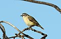Yellow-rumped Thornbill (Acanthiza chrysorrhoa) (31401051725).jpg