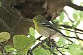 Yellow-throated Vireo National Butterfly Center Mission TX 2018-03-07 14-02-59-2 (40701477372).jpg