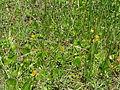 Yellow sweet clover on Reed Bingham island.JPG