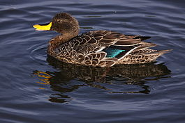 Yellowbilled duck, about to bath (6517722803).jpg