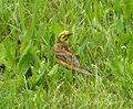 Yellowhammer cock (16409055056).jpg