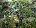 Young Aquatic fungus champignonAquatique à lamelles Moyenne-Deûle 2015 05 34 F.Lamiot.jpg