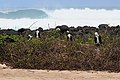 Young Magnificent Frigatebirds (4884590019).jpg