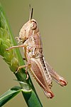 Young grasshopper on grass stalk03.jpg