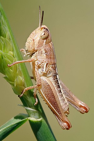 Young grasshopper on grass stalk