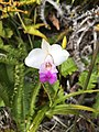 Youth ambassadors helped identify several species of native and non-native plants including this beautiful bamboo orchid. NPS Photo-C. Allen. (17680712029).jpg