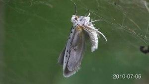 File:Yponomeuta padella.ogv