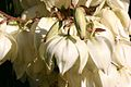 Yucca Flower In Garden Hampshire UK.jpg