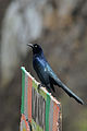 Zanate Mayor, Great Tailed Grackle, Quiscalus mexicanus (15754621472).jpg