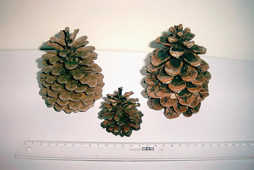 Zapfen von Pinus halepensis mugo und pinea