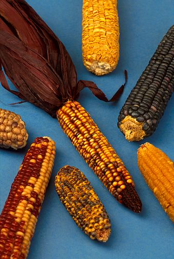 Maize grown by Native Americans Zea mays.jpg