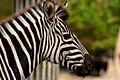 Zebra (3903609325).jpg