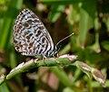 Zebra Blue (Leptotes plinius) in Hyderabad, AP W IMG 9571.jpg