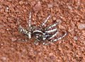 Zebra spider (5739313924).jpg