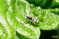 Zebra spider (BG) (7269532702).jpg