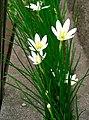 Zephyranthes candida1.jpg