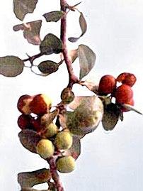 Ziziphus mistol griseb branch with ripe fruit