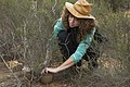 Zoo Entomologist Paige securing the larvae to a shrub for safety (30877576663).jpg