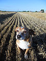 """ 12 - ITALY - campo di grano e cagnolino - dog in a wheat fields.JPG"