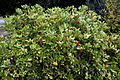 'Skimmia japonica' - Southgate Road of the City of London Cemetery, Newham, London England.jpg