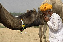 (1) Pushkar Fair, Camel Festival, I love my camel.jpg