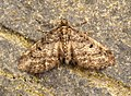 (1827) Freyer's Pug (Eupithecia intricata) (7397624188).jpg
