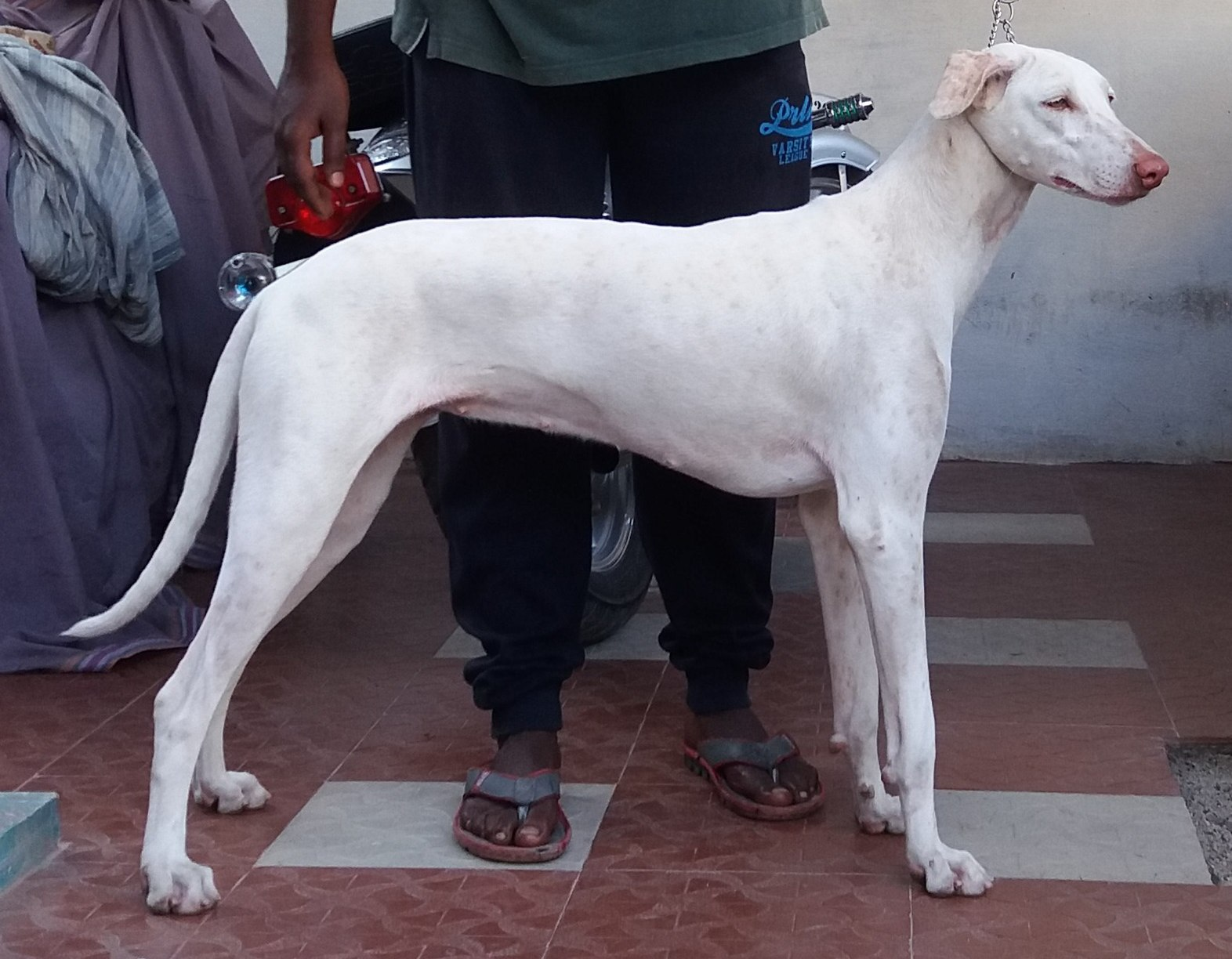 Rajapalayam (dog) - The complete information and online sale