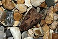 (2089) Heart & Dart (Agrotis exclamationis) (3588400804).jpg
