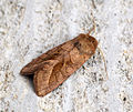 (2361) Rosy Rustic (Hydraecia micacea) (9636742165).jpg