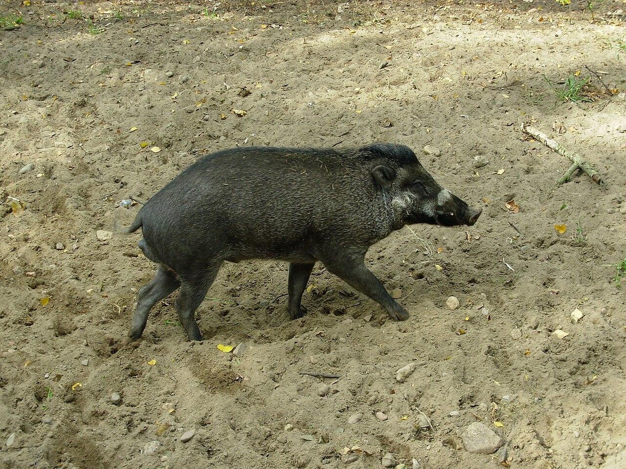 file Świnia wisajska sus cebifrons negrinus visayan warty pig