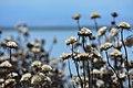 Παράκτια χλωρίδα λιμνοθάλασσας Αγγελοχωρίου.jpg