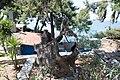 Χαλκιδική, Σιθωνία, Ελιά - panoramio (11).jpg