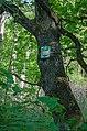 Багатовіковий дуб, Чернігів, урочище Святе.JPG