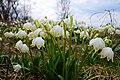 Білоцвіт весняний у Долині нарцисів 2.jpg