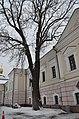 Вікове дерево ясена, вул. Івана Мазепи, 29 02.jpg